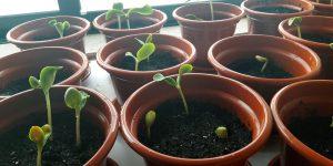 Germinação e crescimento das plantas
